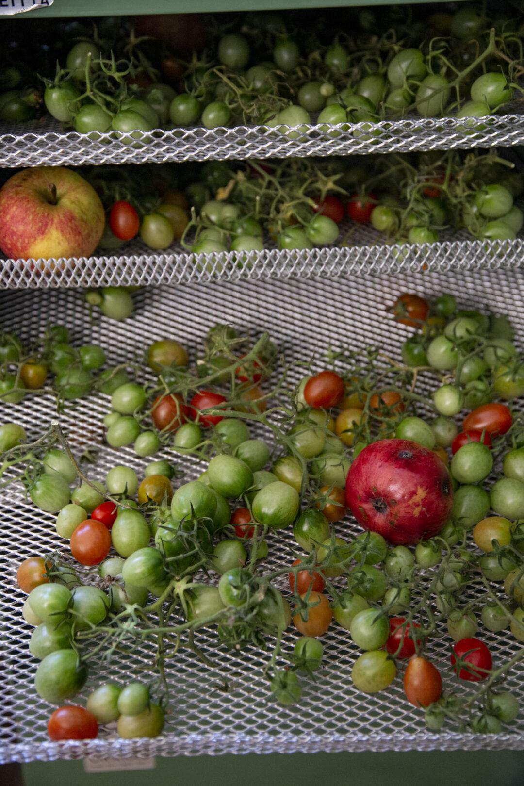 Tomaattien Kypsytys